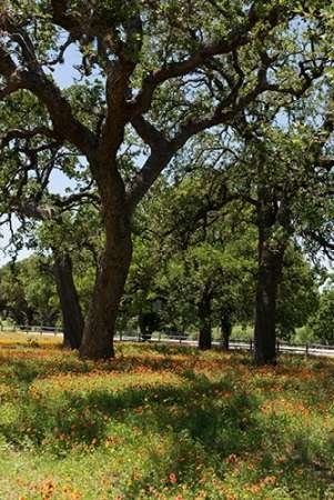 24 x 36 Shade trees and wildflowers on the LBJ Ranch near Stonewall in the Texas Hill Country Poster Print by Carol Highsmith