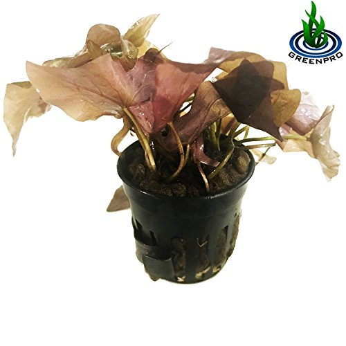 (Greenpro Dwarf Lily Potted Nymphaea Rubra Red Water Lily for Aquarium Plants Decoration)