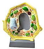 plant model - Eisco Labs Plant Cell Model; Free Standing; Height 10.5