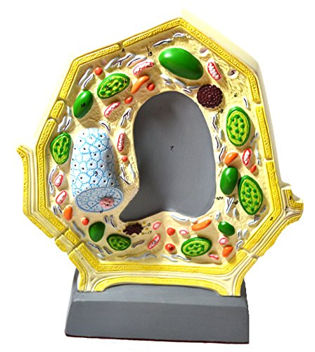 Eisco Labs Plant Cell Model; Free Standing; Height 10.5″; Width 8.5″; Greatly Magnified