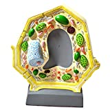 """Eisco Labs Plant Cell Model; Free Standing; Height 10.5""""; Width 8.5""""; Greatly Magnified"""