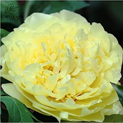 Amazon new heirloom peony yellow series 4 types flowers seeds new heirloom peony yellow series 4 types flowers seeds 5 seeds mix t2 mightylinksfo