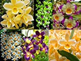 4 Live Orchid Plants to Choose (Dendrobiums)