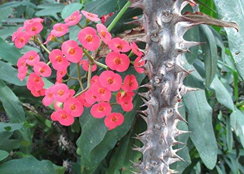 Euphorbia Milii Is A Species Of Flowering Plant Full Year Blooming