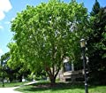 50 River Birch Tree Seeds, Betula Nigra Northern