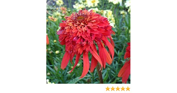 Rare Imported Red Echinacea Coneflowers with Double Petals 100 Seeds Perennial