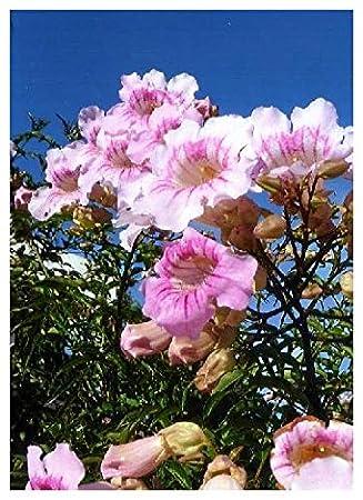 Tropica pink trumpet vine podranea ricasoliana 150 seeds tropica pink trumpet vine podranea ricasoliana 150 seeds climbing plants mightylinksfo