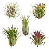 Cheap CTS AIR PLANTS Tillandsia Ionantha 5 Pack