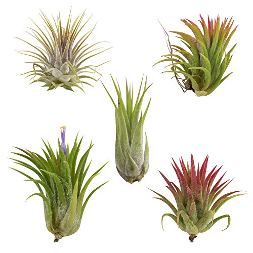 CTS AIR PLANTS Tillandsia Ionantha 5 Pack ()