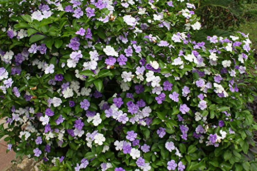 Yunakesa 5 Seeds Brunfelsia pauciflora Floribunda Yesterday Today Tomorrow Seeds Standard Size Plant Overstock Sale Price (Yesterday Today And Tomorrow Plant For Sale)