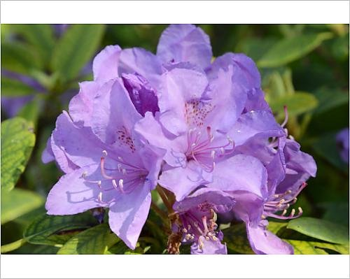 8 Print of Rhododendron Flower -Rhododendron sp.-, Hybrid (12535937) ()