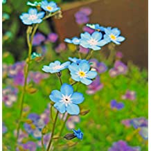 Futaba® Forget Me Not Boraginaceae perennial herb 800 seeds