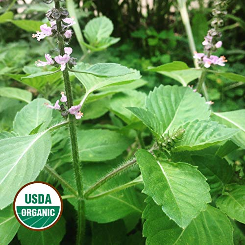 Holy Basil Seeds 150+ Organic Seeds Sacred Tulsi Kapoor Open-Pollinated High Yield Heirloom Non-GMO