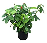 PlantVine Costus woodsonii, Red Button Ginger - 10 Inch Pot (3 Gallon), Live Plant