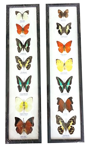 Used, 7 Real Butterfly Wall Decor hanging Collection Taxidermy for sale  Delivered anywhere in Canada