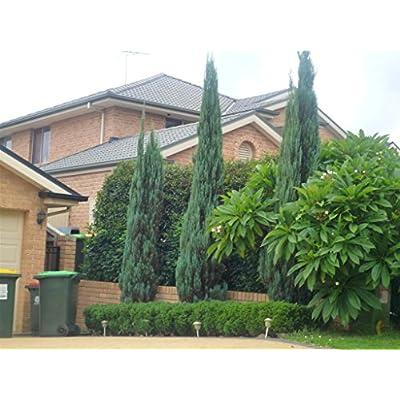Skyrocket Juniper Juniperus Scopulorum Qty 30 Live Evergreen Trees : Garden & Outdoor