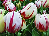 Burpee's Carnival de Rio Tulip - 10 Flower Bulbs | Red & White | 12 - 14cm Bulb Diameter