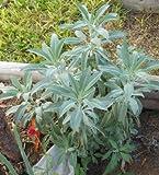 David's Garden Seeds Herb Sage White SV222SA (White) 25 Organic Seeds