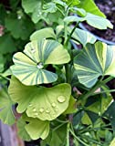 Dwarf Variegated Ginkgo - Ginkgo biloba 'Majestic Butterfly' - 1 Year Plant