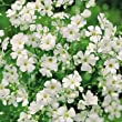5000 Baby's Breath Seeds / Free Shipping