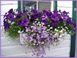 Swan River Daisy Mix Brachyscome Flower Seeds for Home and Garden #LKY