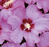 Rose Satin® Rose of Sharon - Hibiscus - Flowering Shrub - Proven Winners