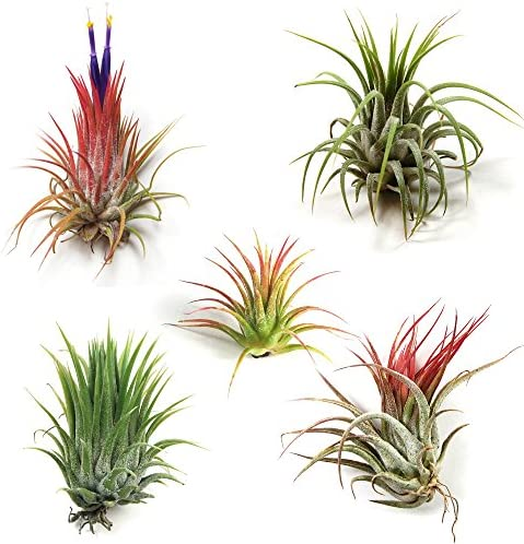12-pack-tillandsia-ionantha-air-plants