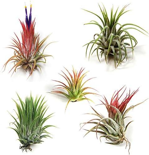 12-pack-tillandsia-ionantha-air-plants