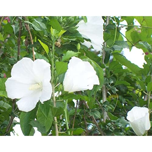 Delicate 50 White Double Rose Of Sharon Hibiscus Syriacus Flower