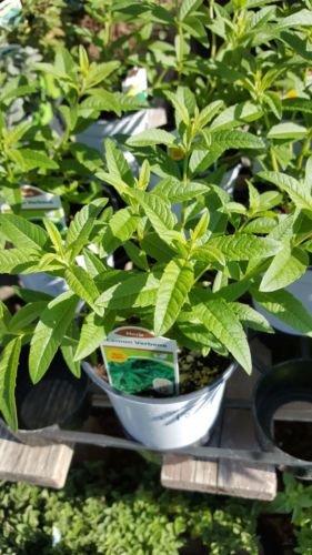 "9EzTropical - Lemon Verbena - Aloysia triphylla - 1 Plants - Ship in 3"" Pot"