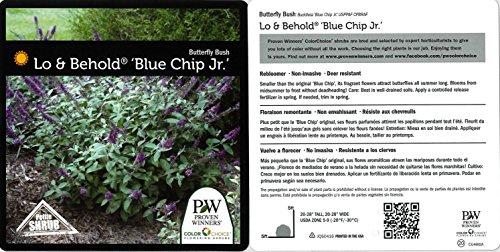 1 Gal. Lo & Behold 'Blue Chip Jr.' Butterfly Bush (Buddleia) Live Shrub, Blue-Purple Flowers by Proven Winners (Image #2)