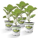 Bonnie Plants Black Beauty Eggplant (4 Pack) Live Plants