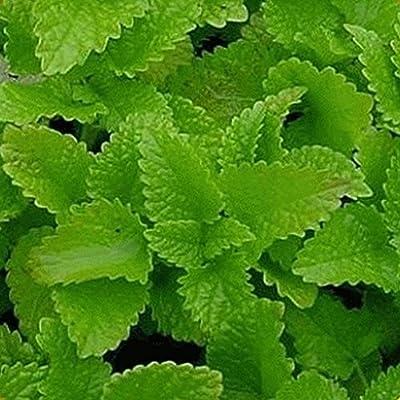 Everwilde Farms - Organic Lemon Balm Herb Seeds - Gold Vault Seed Packet