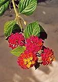 TROPICA - Common Lantana (Lantana camara) - 30 Seeds - Mediterranean