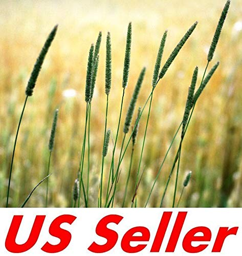 2,000 Seeds T63, Climax Timothy Grass Seeds for Deer Plot Rabbits Goat Horse Hay