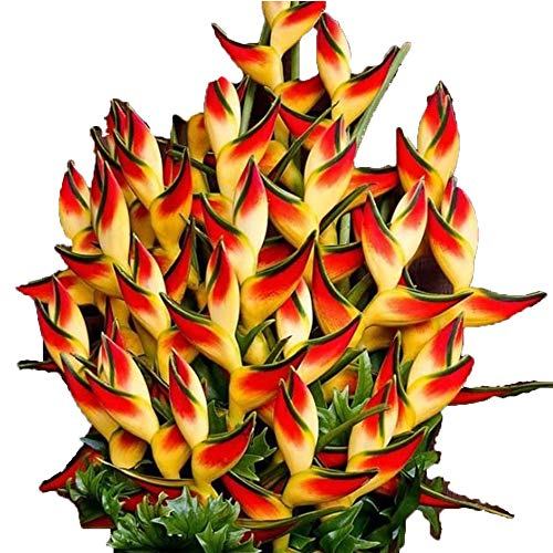 100/50 PCS Heliconia Seeds Rare Flower Seeds Home Garden Bonsai Potted Plant Seeds by Bulges