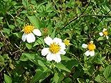 Bidens Pilosa Alba,MEDICINAL butterflies garden Spanish Needles 25 Rooted Plant!