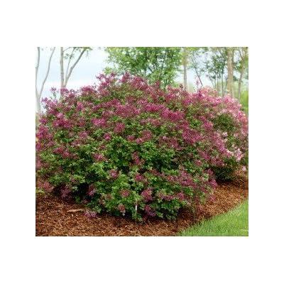 Dark Purple Bloomerang Lilac> Syringa x 'SMSJBP7> Landscape Ready 2 Gallon Container : Garden & Outdoor