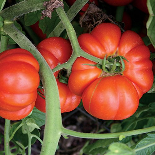 Park Seed Mortgage Lifter Tomato (Mortgage Lifter Tomato Seeds)