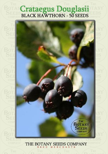 The Dirty Gardener Crataegus Douglasii Black Hawthorn Trees, 50 Seeds -