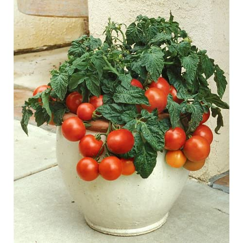 30+ ORGANICALLY GROWN Dwarf Tiny Tim Tomato Seeds Determinate Heirloom NON-GMO Sweet Mini From USA