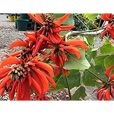 Cheap Fresh Tree Seeds Exotic Erythrina Indica Coral Get 5 Seeds Easy Grow #GRG01YN : Garden & Outdoor