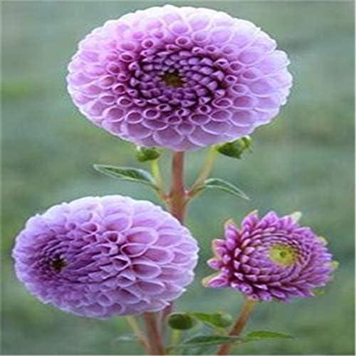 24 tipos de jardín de dalia, tipo Semillas de flores Dalia Paquidermos Flor Semillas de dalia Semillas Flores - 50 piezas Flores: 2: Amazon.es: Jardín