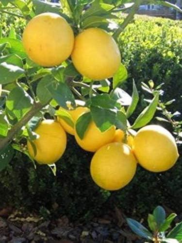 pianta di limone di Zagara Bianca Altezza REALE 180cm 2 anni di et/à