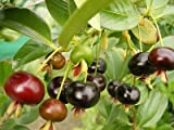 Grumichama (Eugenia Brasiliensis) Brazilian Cherry Tropical Fruit Trees