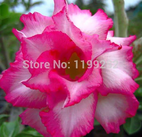 100% echte Sapphire Adenium Obesum Seeds - 10 SEEDS - Bonsai Desert Rose Blume Pflanzensamen