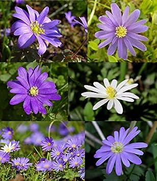 Gemeinsame Anemonen Blumenzwiebeln Blanda Mischung Frühblüher Anemone Blumen #OF_69
