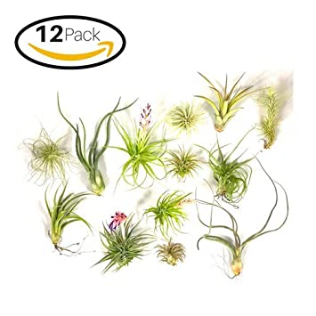 Air Plants Assortment Live Exotic Tillandsia House Plant Set Low  Maintenance Indoor Plants Terrariums Flowering Air