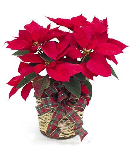 Philadelphia Poinsettia - Farm-direct Fresh Flower Basket  Standard