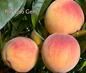 Rio Oso Gem Peach Tree Shipped in Soil, Five Gallon Container